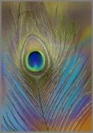 Tavla påfågel 40x60cm