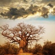 Poster Träd 70x100cm