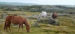 Islandshästar vid Stensjöstrand 21x10 cm