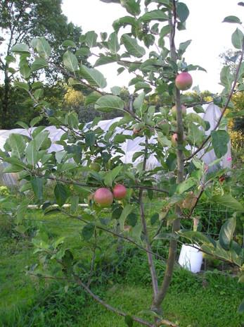 äpple av sorten Aroma