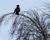Hooded crow, Kalmar