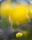 Globe flower, Saxnäs