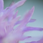 Orchis italica, borstnycklar