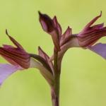 Orchis papilionacea, fjärilsnycklar