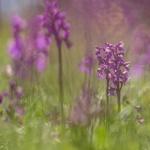 Orchis morio, göknycklar
