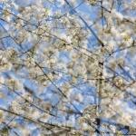 Fruktträd i blom