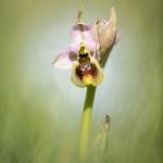 Ophrys tenthredinifera, praktofrys