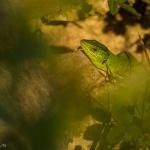 Lacerta viridis, smaragdödla
