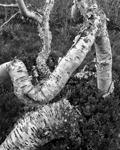 Twisted trunks, Storulvån, Sweden