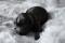 svart valp 1