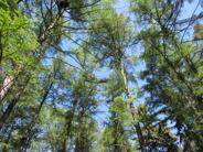 Lärkträd