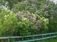 Syrenhäcken i full blom