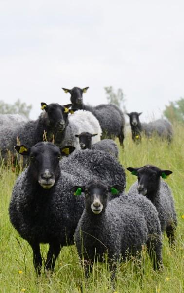 Gotlandstackor med lamm.