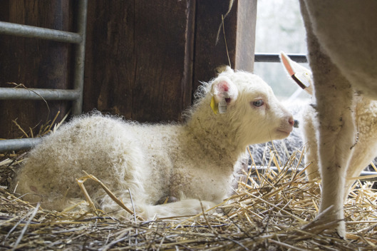 Bonden i skolanfåret Laila Gagge och hennes lamm