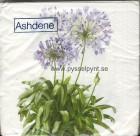 Servett Ashdene Agapanthus Afrikas lilja