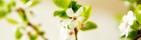 Fruktträd i blomning