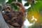 JP_57869 Borneo orangutang. Gommantong