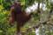 JP_57711 Boreno orangutang. Kinnabatang River