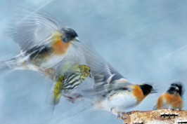 2013 Nordic Nature Photo Contest: Category birds - Highly commended