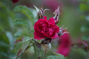 Ro med ros i trädgården.