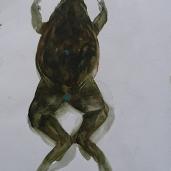 Frog II - watercolor - ca 15x20 cm