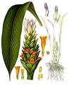 Gurkmeja (Curcuma longa)