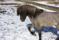 Keilir is very friendly yet stallion-like