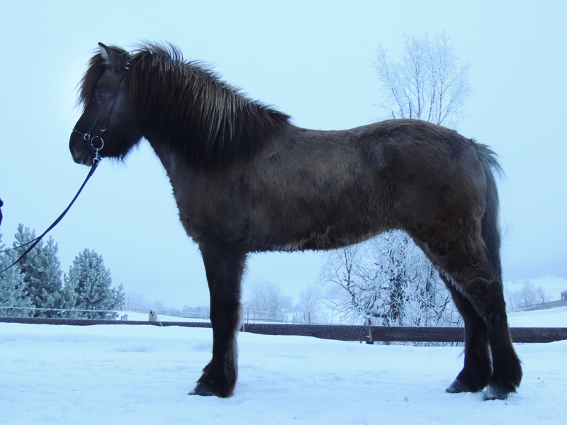 Keilir från Kval in January 2014 (3,5 years old) - looking great!