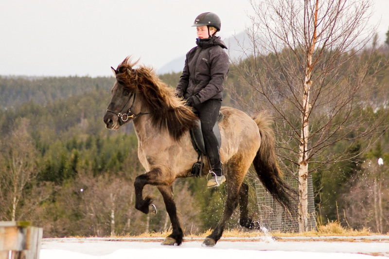 Keilir (not yet four-years old) in tölt, with lots of leg action!