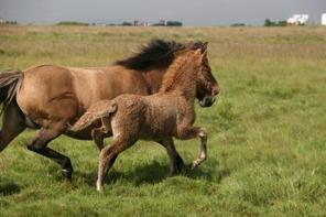Heikir running with mother Hrund