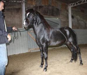 Háski as a young stallion