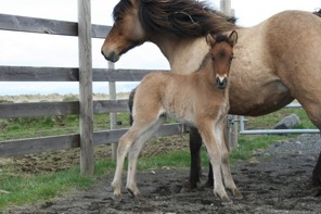 Vigur as a handsome, well-raised foal