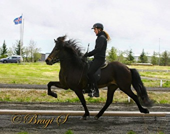 Talented Sóldögg showing her big movements (8.29 for ridden abilities). Picture is borrowed from Hamarsey (https://www.facebook.com/hamarsey/)