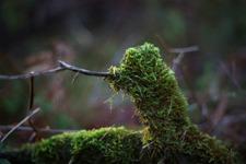 Lille Skogsdraken