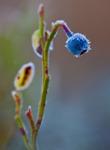 Frostigt blåbär