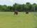 Två hästar