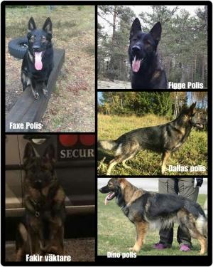 Dessa 5 goa pojkar har i år gjort ett fint L-test och nu hos polisen Fakir jobbar som väktar hund