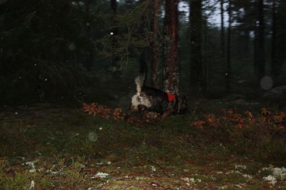 Rixi på jakt efter föremål i skogen=)