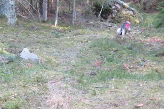 RixDivans Blinka på väg ut i skogen för att hitta en figge,