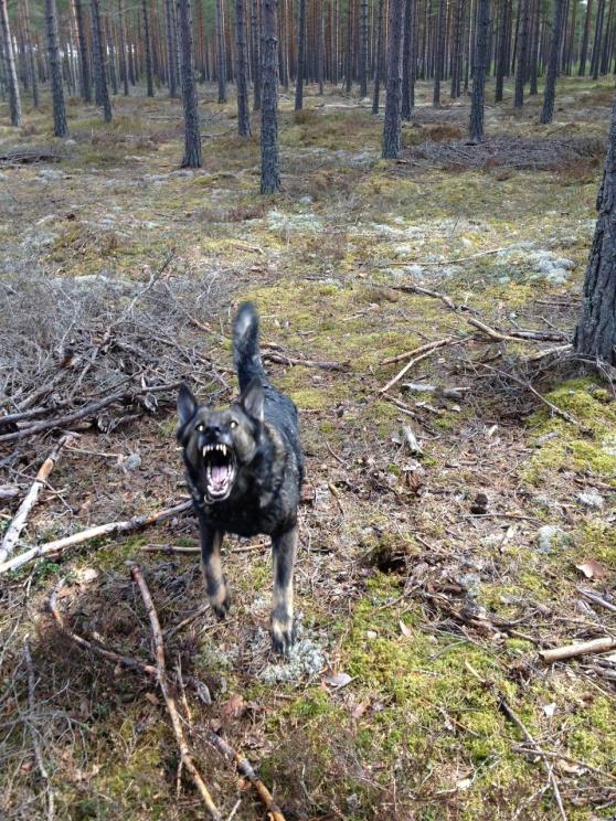 Rixi vart riktigt sur härom dan när det kom en och hotade oss i skogen han är inte fullt normal går konstigt och mummlar tur att hon är lyhörd!