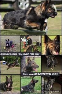 RixDivans Enzie och Gero vom Brachtpetal