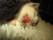 Underkäkens mjukdelsvänad avskalad, kattunge