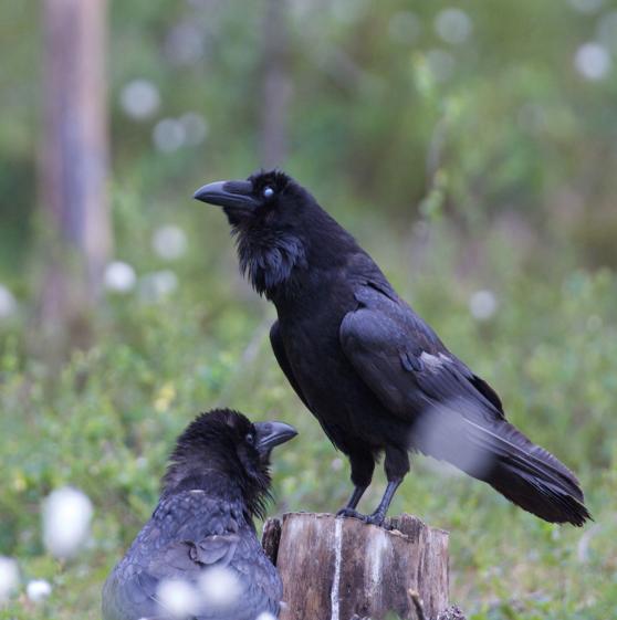 Korpar (Corvus corax) i Hälsingeskogen
