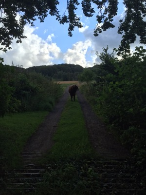 Precis utanför vårt hus stod tjuren och vaktade en morgon.