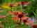 008-echinacea-sunset