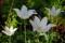 Tulipa-WhiteTriumphator