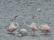 Flamingo, Peyriac-de-mer, Frankrike
