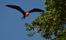 Fregattfågel, Los Haitises, D.R,