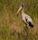 Amerikansk ibisstork, Everglades, Florida