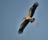 Asiatisk gapnäbbsstork, Vedantangal, Indien